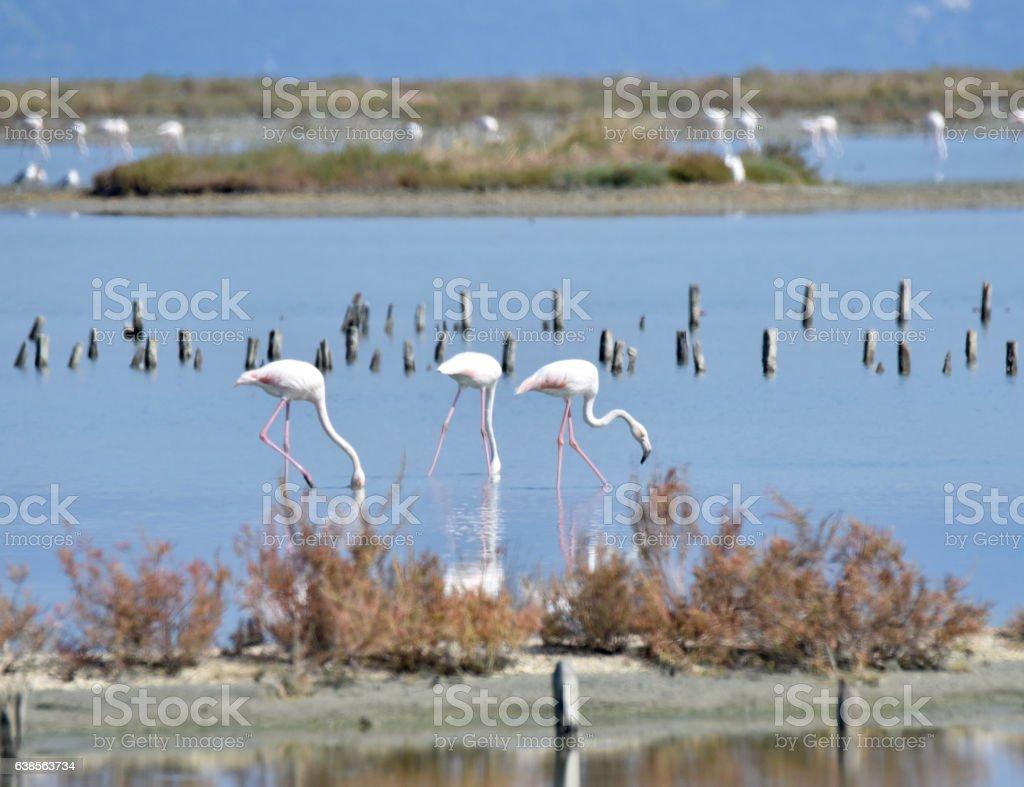 Greater Flamingos, Lefkimmi, Corfu, Greece stock photo