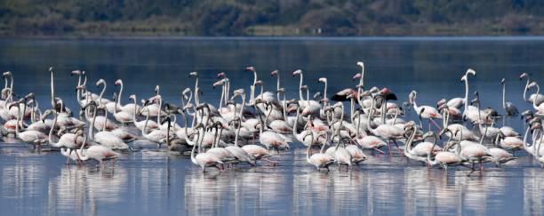 Greater Flamingos on Lake Korission, Corfu, Greece stock photo