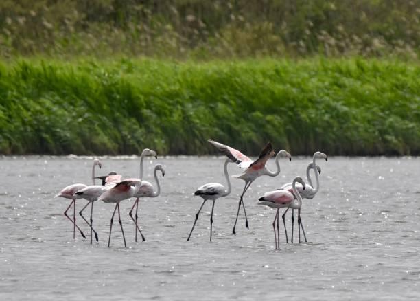 Greater Flamingos on Lake Korission stock photo