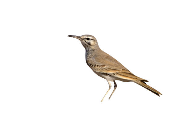 Greater Hoopoe-lark, Alaemon alaudipes stock photo