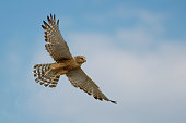 A Greater Kestrel in flight in Etosha National Park - Namibia