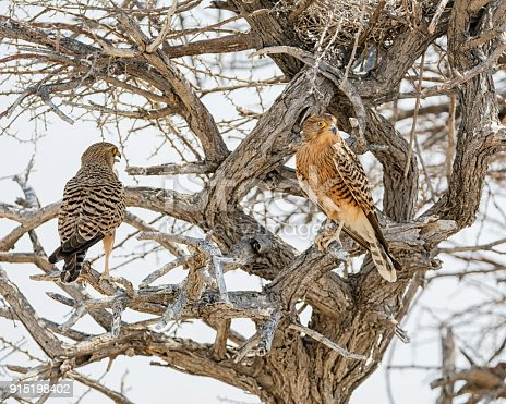 A pair of Greater Kestrels perched near their nest in a tree in Namibian savanna