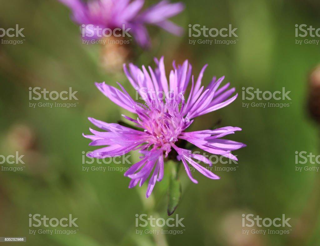 greater knapweed (Centaurea scabiosa) stock photo