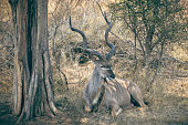 Greater kudu male antilope with big impressive horns resting in the bush, African wildlife, Kruger national park, South Africa