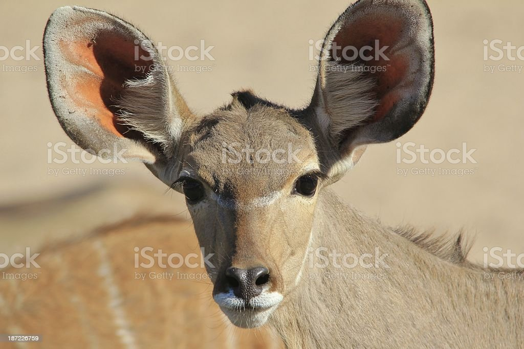 Greater Kudu cow - Wildlife Background from Africa royalty-free stock photo