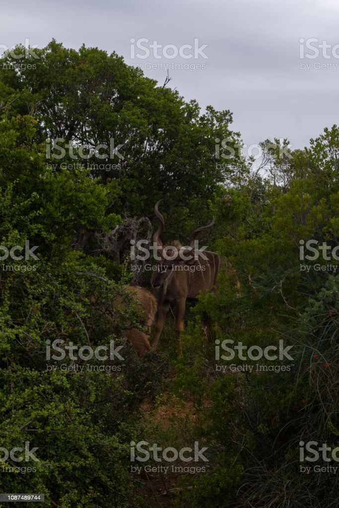 Greater kudu walking on the savanna near shrubs for protection in Addo Elephant Park stock photo