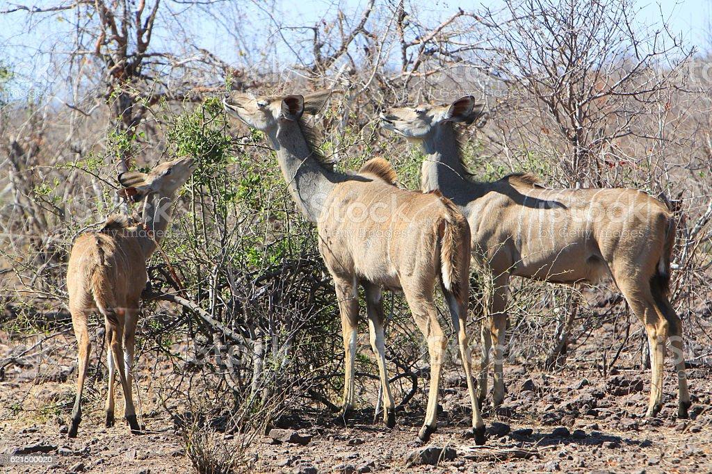 Greater kudus eating in Chobe National Park, Botswana Lizenzfreies stock-foto