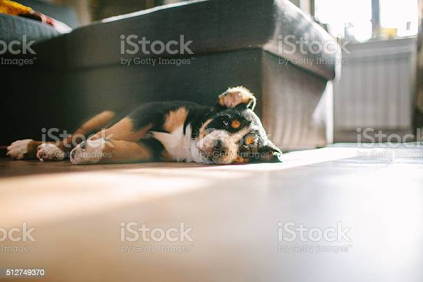 Greater mountain swiss dog puppies laying on the floor picture id512749370?b=1&k=6&m=512749370&s=612x612&h=i1jycr4lydy03yd0qpg6adeuxfrrektxernivi shuo=