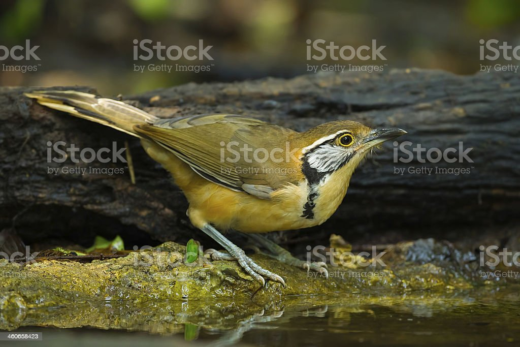 Greater Necklaced Laughingthrush royalty-free stock photo