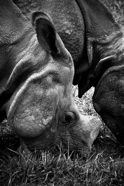 Greater One-Horned Asian Rhinoceros 2 stock photo