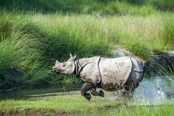 Plus à cornes Bardia rhinocéros dans le parc national, Népal - Photo