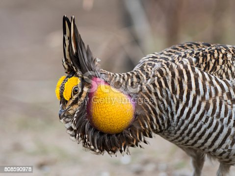 A Booming and displaying Greater Prairie Chicken in the spring