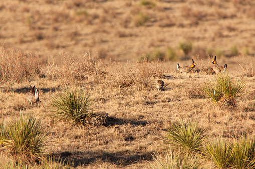 At sunrise in the Sand Hills just outside Wray, Colorado, a pair of male greater prairie chickens face off on a parade ground or lek in a springtime mating ritual. Males fill their orange sacs on the sides of their throats with a booming sound and dance for the inspecting female chickens.