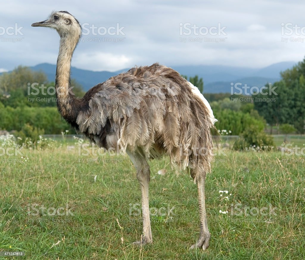 Greater Rhea in cloudy ambiance stock photo