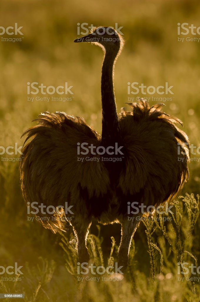 Greater Rhea, Patagonia, pampas , Argentina stock photo