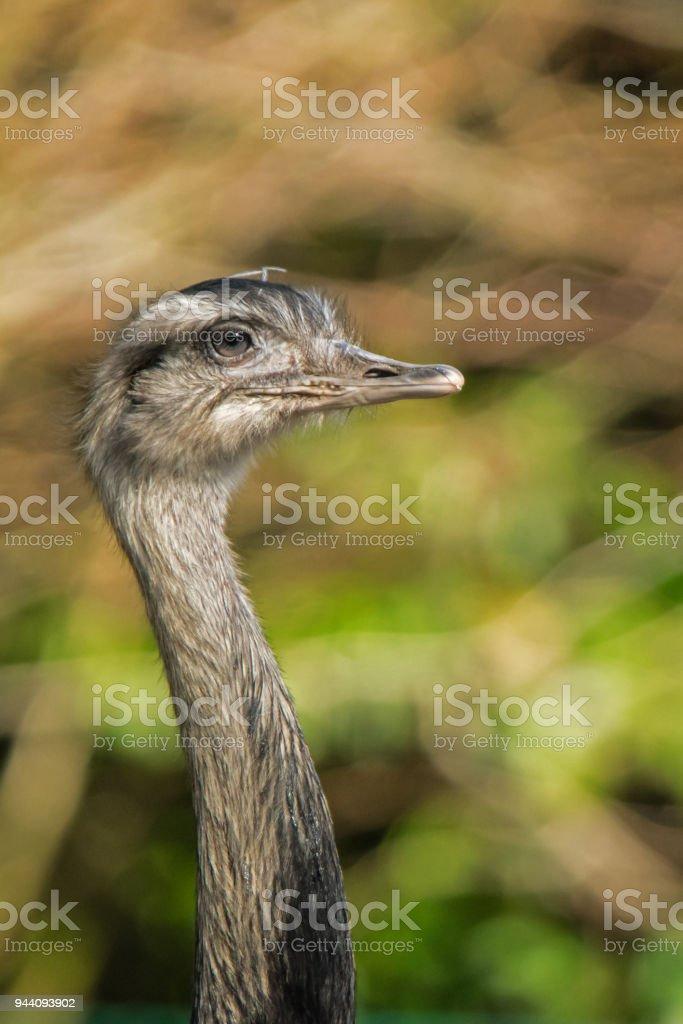 Greater rhea stock photo
