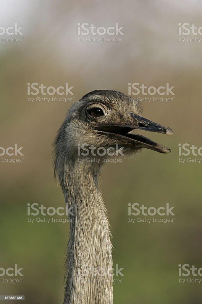 Greater rhea,  Rheaa americana royalty-free stock photo