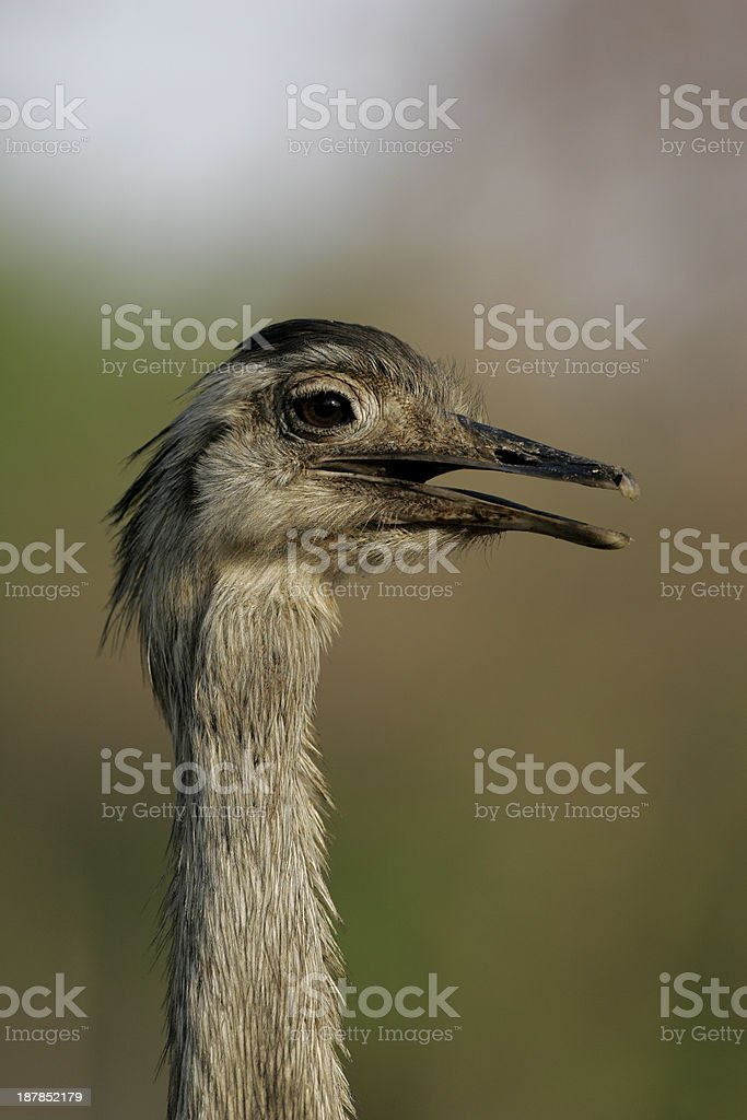 Greater rhea,  Rheaa americana royalty-free stock photo