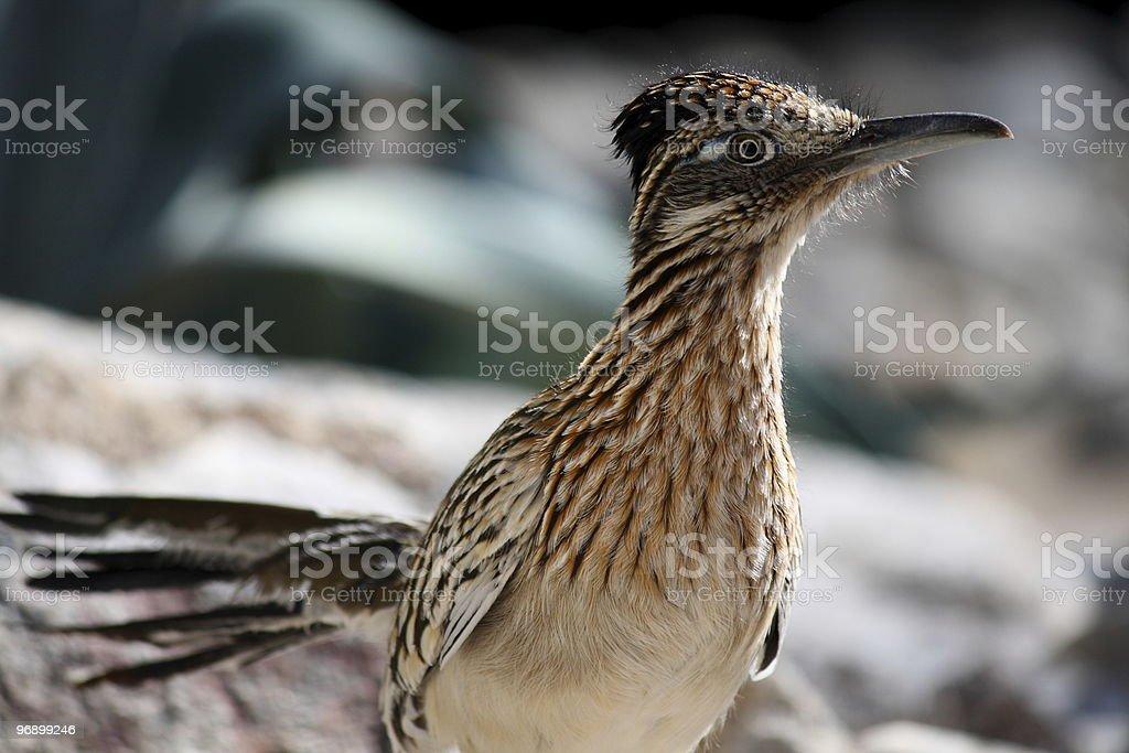 Greater Roadrunner Bird royalty-free stock photo