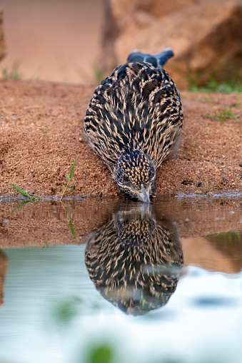 A roadrunner drinking from a pond south of Tucson, AZ. The Greater Roadrunner (Geococcyx californianus) is a large member of the cuckoo family that is resident from southwest United States to central Mexico. The roadrunner spends most of its time chasing down prey on the ground.