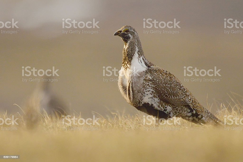 Greater Sage Grouse (3) stock photo