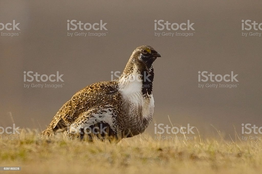 Greater Sage Grouse (4) stock photo
