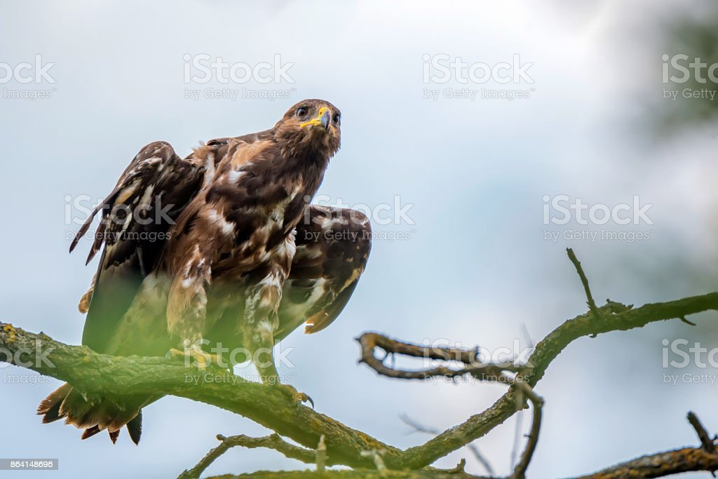 Greater spotted eagle or Clanga clanga royalty-free stock photo