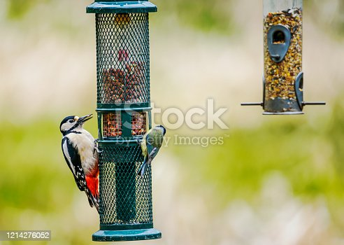 Greater Spotted Woodpecker on a bird feeder.