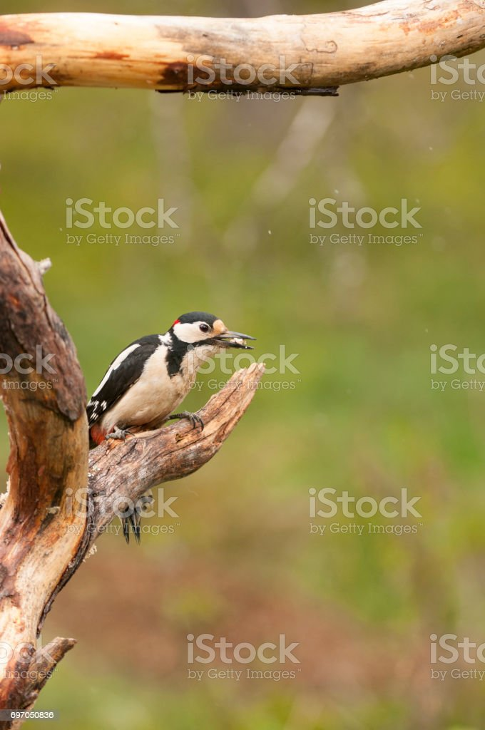 Greater spotted Woodpecker stock photo