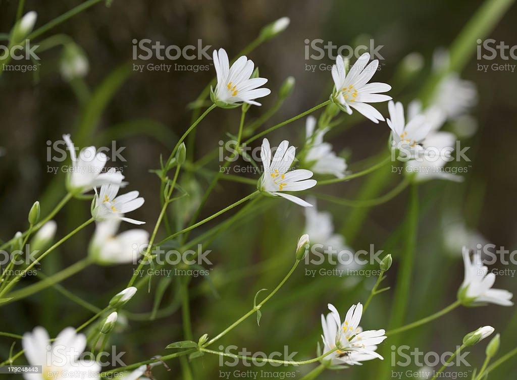 Greater Stitchwort (Stellaria holostea) royalty-free stock photo