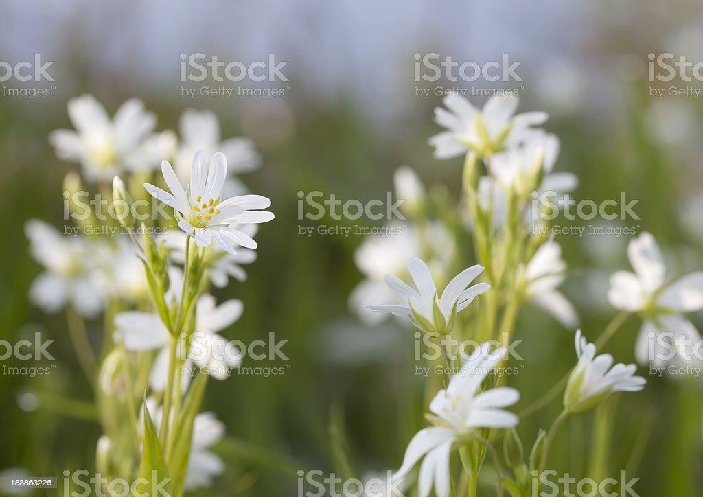 Greater Stitchwort (Stellaria holostea) foto