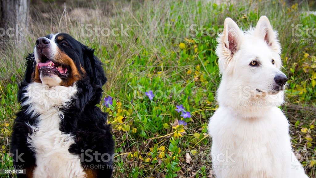 Greater Swiss Mountain and White Swiss Shepherd dogs stock photo