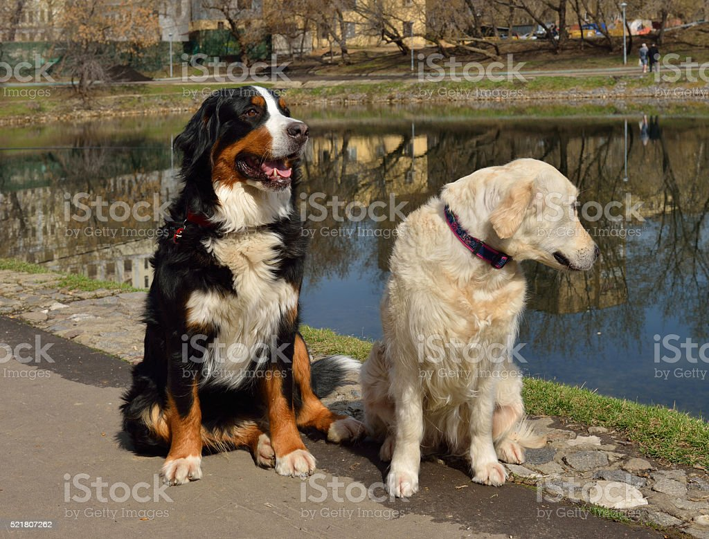 Greater Swiss Mountain Dog and Golden Retriever stock photo