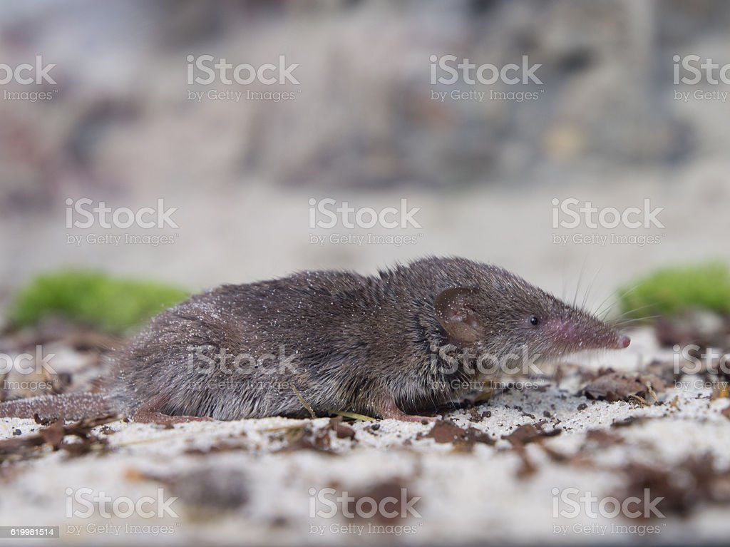 Greater white-toothed shrew (Crocidura russula) stock photo