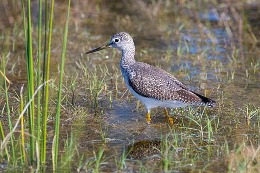 A greater yellowleg bird foraging in wetlands near Ocala, Florida.