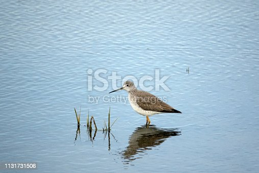 A solitary Greater Yellowlegs shorebird at a wildlife refuge in the San Francisco Bay Area