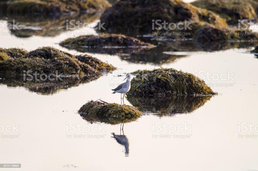 更多 Yellowlegs 海藻覆蓋的岩石 免版稅 stock photo