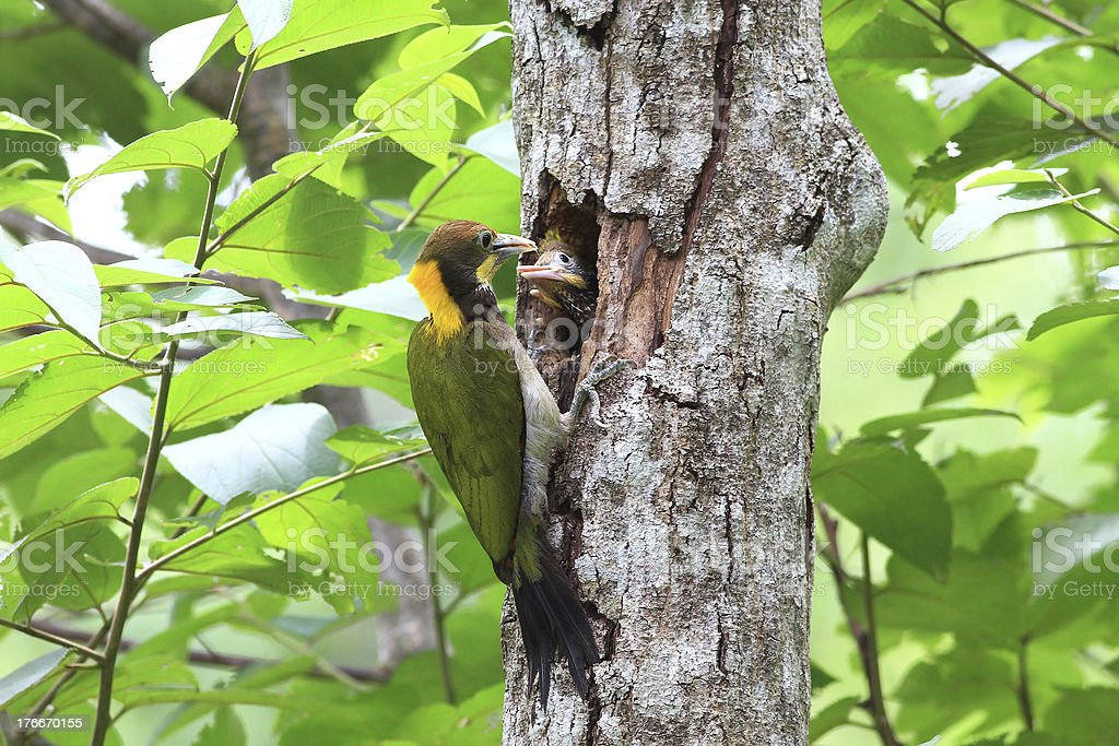 Greater Yellownape, yellow-naped woodpecker, picus royalty-free stock photo