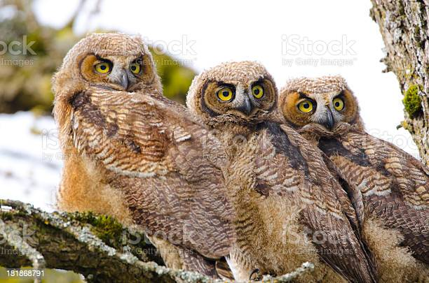 Greathorned owl babies triplets picture id181868791?b=1&k=6&m=181868791&s=612x612&h=vrdb7gggfqrl b5fuum4io9hn3fi no gcgz2ml1krq=