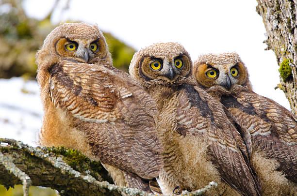 Greathorned owl babies triplets picture id181868791?b=1&k=6&m=181868791&s=612x612&w=0&h=gyyapqyxf0 fhpd2kt 7 hffyd5itmtaxvvrvrqnnje=