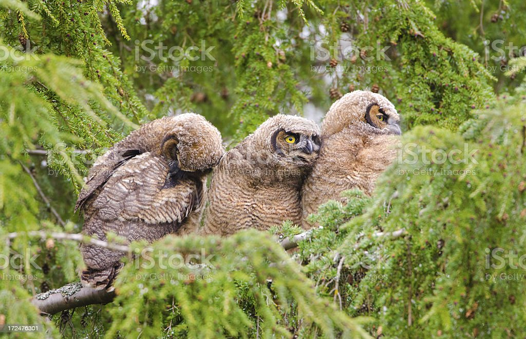 Great-horned Owl Baby - Triplets royalty-free stock photo