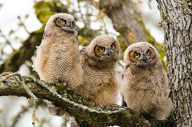 Greathorned owl baby triplets picture id180699750?b=1&k=6&m=180699750&s=612x612&w=0&h=jywltwbbbvrnbbvt0mhqejwutptknkcg0stcwcppyvu=
