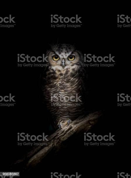 Greathorned owl in the dark picture id956085862?b=1&k=6&m=956085862&s=612x612&h=7xrha75dzzcez2ryvso68bzwknhlfyjtoonuwxhl3bs=