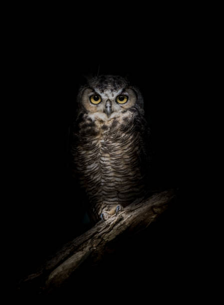 great-horned owl in the dark - owl stock photos and pictures