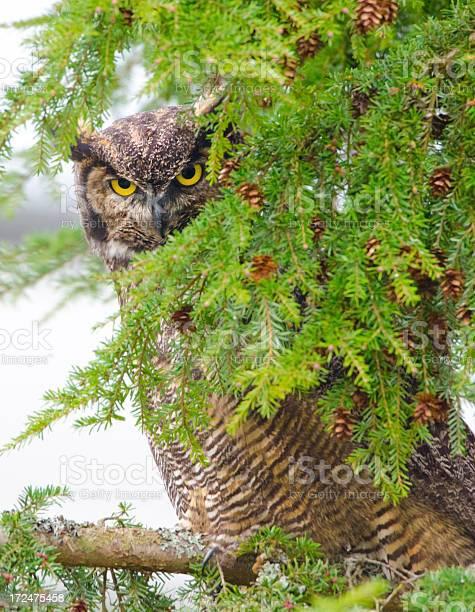 Greathorned owl peeping victoria picture id172475458?b=1&k=6&m=172475458&s=612x612&h=vqqd9z5d2zwnggn2ybgxfxu1gceygvcsc6ywo1lznc4=
