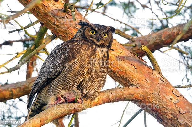 Greathorned owl victoria picture id172451062?b=1&k=6&m=172451062&s=612x612&h=hzldaksjk dogifqpdrf8a3aecmtobn14lwy 4saei8=