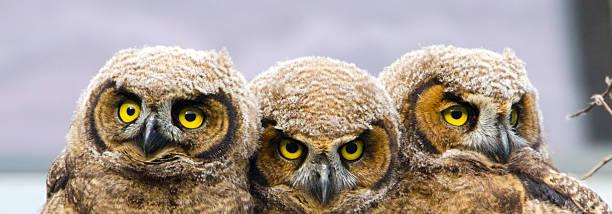 Greathorneed owl babies banner picture id181889760?b=1&k=6&m=181889760&s=612x612&w=0&h=lq56tigriqbg rdqn9dhdp6fi1prlt8qgn0ljw6plcy=