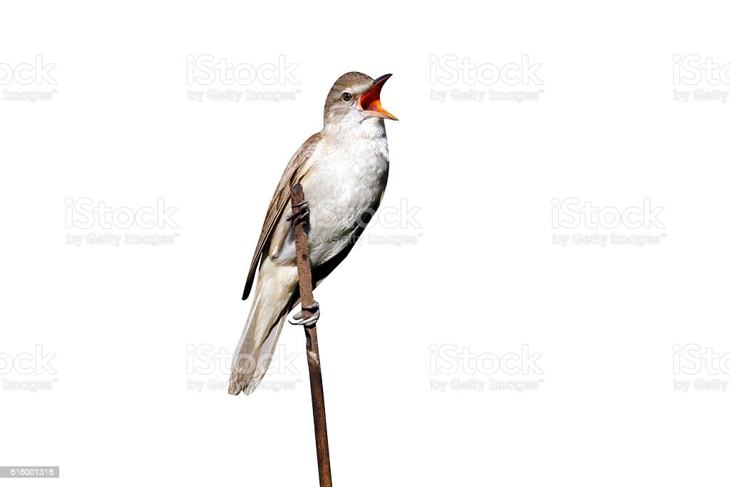Great-reed warbler, Acrocephalus arundinaceus stock photo