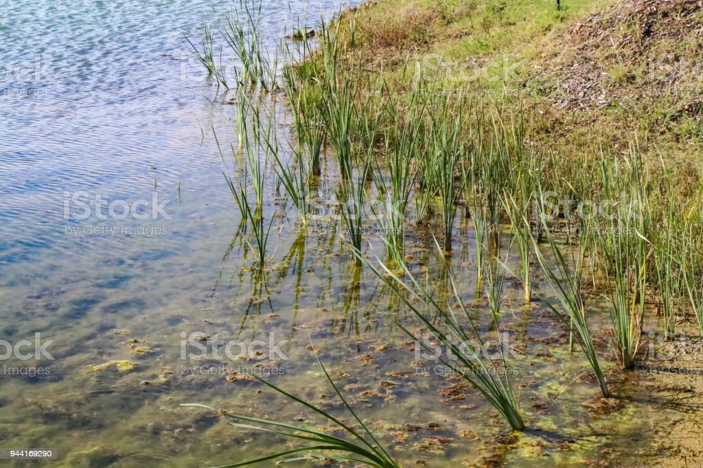 Gree grasses growing n clumps at the edge of a lake by the shore stock photo