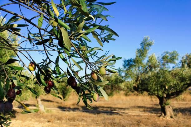 Grèce, olives sur la branche d'olivier - Photo